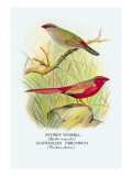 Sydney Waxbill, Australian Fire-Finch Wall Decal by Arthur G. Butler