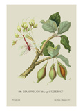 The Mahwhaw Tree of Guzerat Wall Decal by J. Forbes