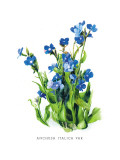 Anchusa Italica Var Wall Decal by H.g. Moon