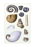 Shells: Ammonacea Wall Decal by G.b. Sowerby