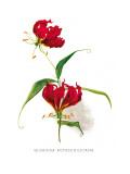 Gloriosa Rothschildiana Wall Decal by H.g. Moon