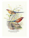 Violet Eared Waxbill Wall Decal by Arthur G. Butler