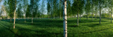 Birch Trees in a Forest, Imatra, South Karelia, Southern Finland, Finland Wall Decal by  Panoramic Images