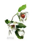 Magnolia Parviflora Wallstickers af H.g. Moon