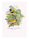 Cuba Finch Wall Decal by Arthur G. Butler