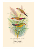 Orange-Cheeked Waxbill, Zebra Waxbill Wall Decal by Arthur G. Butler