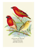 Madagascar Weaver, Comoro Weaver Wall Decal by Arthur G. Butler