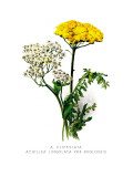 A. Clipeolata Achillea Lingulata Var Buglossis Wallsticker af H.g. Moon