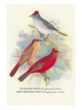 Pileated Finch, Red-Crested Finch Wall Decal by Arthur G. Butler