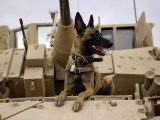 US Air Force Military Working Dog Sits on a US Army M2A3 Bradley Fighting Vehicle Photographic Print by Stocktrek Images