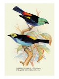 Superb Tanager, Paradise Tanager Wall Decal by Arthur G. Butler