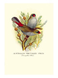 Australian Fire-Tailed Finch Wall Decal by Arthur G. Butler