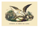 Gypaete, Ou Phene des Alpes Wall Decal by E.f. Noel