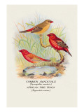 Common Amaduvale, American Fire Finch Wall Decal by Arthur G. Butler