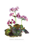 Primula Megasaefolia Wall Decal by H.g. Moon