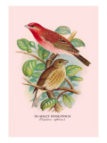 Scarlet Rose-Finch Wall Decal by Arthur G. Butler