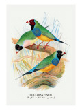 Gouldian Finch Wall Decal by Arthur G. Butler