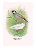 Java Sparrow Wall Decal by Arthur G. Butler