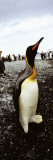 King Penguins on the Coast, Salisbury Plain, South Georgia Island Wall Decal by  Panoramic Images