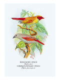 Red-Faced Finch, Crimson-Winged Finch Wall Decal by Arthur G. Butler