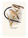 Pin-Tailed Whydah Wall Decal by Arthur G. Butler