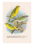 St. Helena Seed-Eater, Green Singing-Finch Wall Decal by Arthur G. Butler