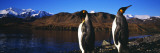 King Penguins on Shore of Cumberland Bay East, King Edward Point, South Georgia Island Wall Decal by  Panoramic Images