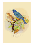 Indigo Bunting Wall Decal by Arthur G. Butler