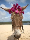 Tourist Donkey, Genipabu Dunes Photographic Print by Huw Jones