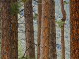 Pine Tree Trunks Photographic Print by Douglas Steakley