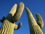 Saguaro Cacti (Carnegiea Gigantea) Photographic Print by Feargus Cooney