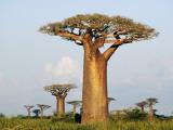 Karl Lehmann - Giant Baobabs (Adansonia Grandidieri) Dotting the Countryside Near Morondava Fotografická reprodukce