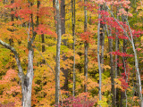 Autumn Leaves, White Mountains Photographic Print by Gareth McCormack