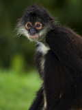 Yucatan Spider Monkey (Ateles Geoffroyi Yucatanensis), Xcaret Eco Theme Park Photographic Print by Guylain Doyle