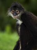Yucatan Spider Monkey (Ateles Geoffroyi Yucatanensis), Xcaret Eco Theme Park Photographic Print by Guylain Doyle