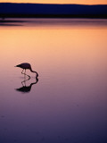 Flamingo Silhouetted at Sunset in Laguna Chaxa Photographic Print by Michael Taylor