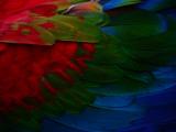 Macaw Plumage Detail Photographie par Diego Lezama