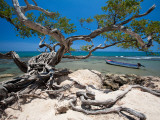 Gnarled Tree at Jake's Resort, Treasure Beach Photographic Print by Greg Johnston