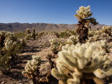 Teddy Bear Cholla Cactus Photographic Print by Carol Polich