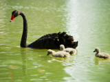 Black Swan (Cygnus Atratus) with Cygnets on a King's Park Lake Photographic Print by Greg Elms