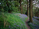 A Woodland Floor Carpeted with Bluebells-A Native Flower Unique to Britain Photographic Print by David Else