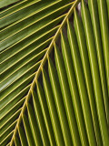 Palm Frond, Westpunt Photographic Print by Holger Leue