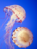 Jellyfish in Monterey Bay Aquarium Impresso fotogrfica por Douglas Steakley
