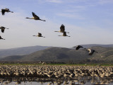 Cranes at Hula Lake, Upper Galilee Photographic Print by Hanan Isachar