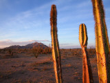 Golden Light on Organ Pipe Cactus, North of Puerto Penasco in Gran Desierto De Altar Photographic Print by Feargus Cooney