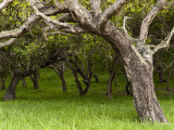 Oak Trees Photographic Print by Douglas Steakley