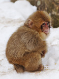 Baby Snow Monkey (Japanese Macaque) at Jigokudani Yaen-Koen Hot Spring Photographic Print by Frank Carter