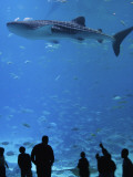 Large Whale Shark Swimming in Tank with People Below at Georgia Aquarium Photographie par Frank Carter