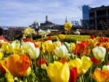 Tulips on Pier 39 with Coit Tower in the Background. Photographic Print by Christina Lease