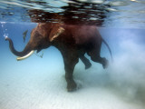 Elephant 'Rajes' Taking Swim in Sea Fotografisk tryk af Johnny Haglund